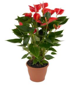 pianta-anthurium-grande