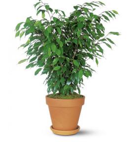 pianta-ficus-bush