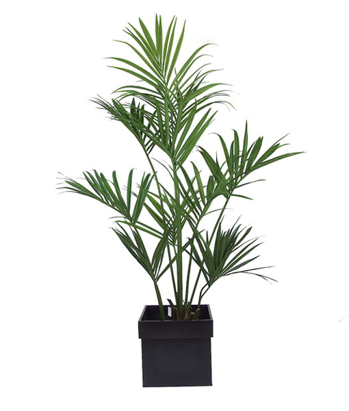 pianta-kenthia