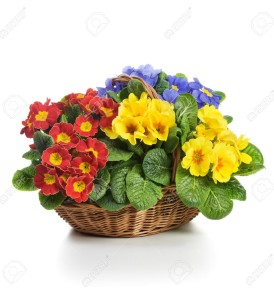 18414738-Basket-full-of-spring-primula-flowers-on-white-background-Stock-Photo
