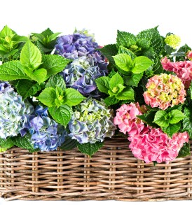 557121_nature_flowers_flower_basket_hydrangea_4000x2700_(www.GetBg.net)