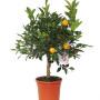 pianat-di-arancio