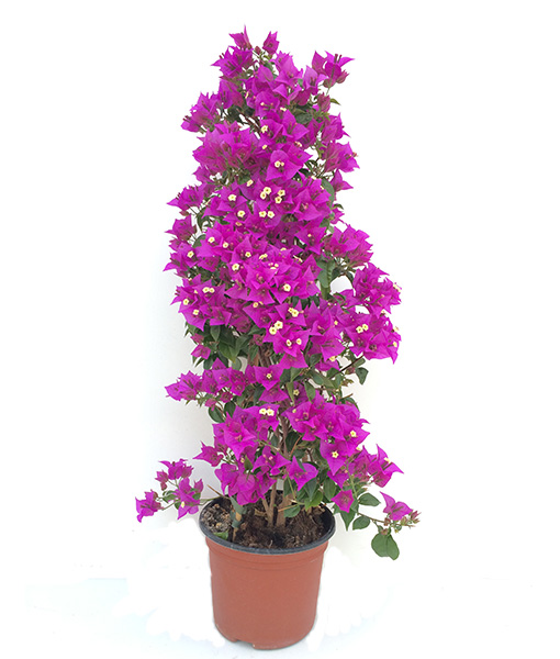 pianta--di-bouganville