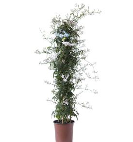pianta-di-gelsomino