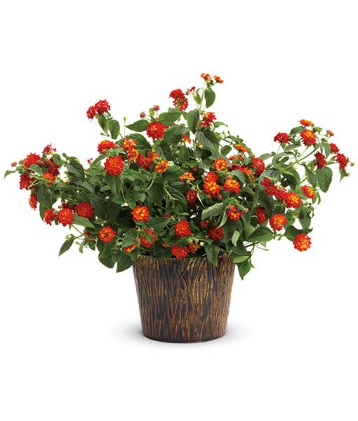 pianta-di-lantana