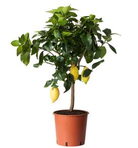 pianta-di-limone