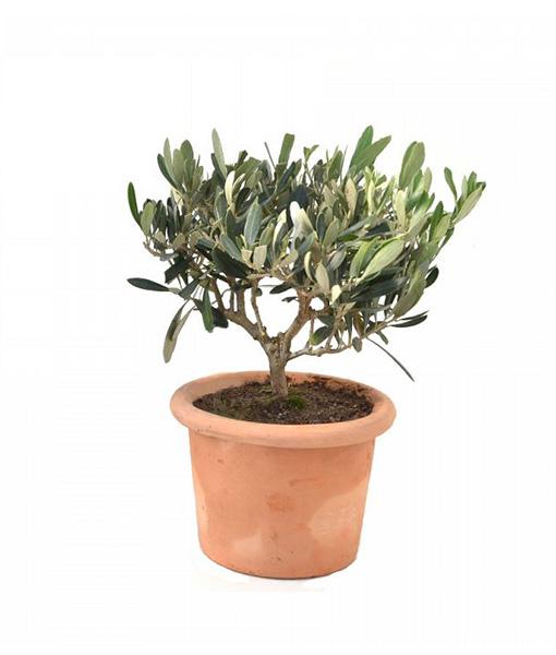 pianta-di-ulivo